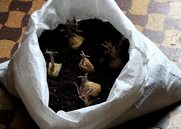 10-maneras-diferentes-de-cultivar-patatas-02