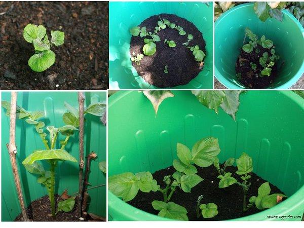10-maneras-diferentes-de-cultivar-patatas-04
