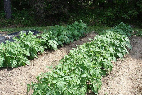 10-maneras-diferentes-de-cultivar-patatas-05