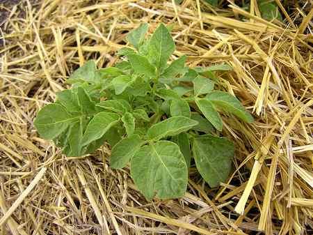 10-maneras-diferentes-de-cultivar-patatas-06