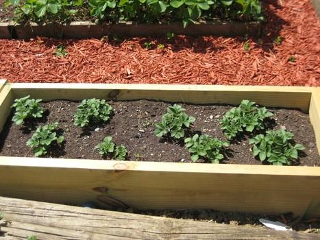 10-maneras-diferentes-de-cultivar-patatas-09