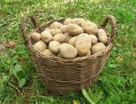 imagen 10 maneras diferentes de cultivar patatas