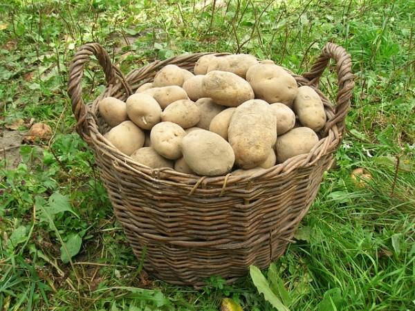 10-maneras-diferentes-de-cultivar-patatas-11