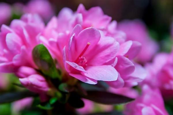 13-flores-muy-comunes-que-son-venenosas-05