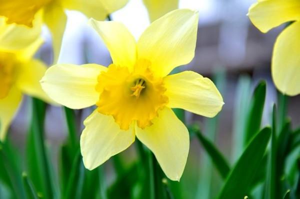 13-flores-muy-comunes-que-son-venenosas-06