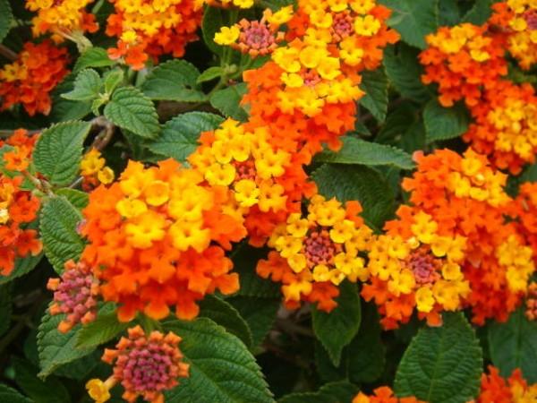 13-flores-muy-comunes-que-son-venenosas-07