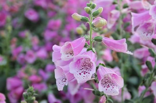 13-flores-muy-comunes-que-son-venenosas-08