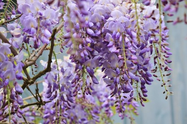 13-flores-muy-comunes-que-son-venenosas-11