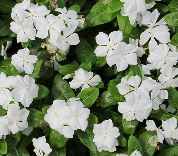 13-flores-muy-comunes-que-son-venenosas-12