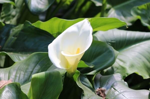 13-flores-muy-comunes-que-son-venenosas-13