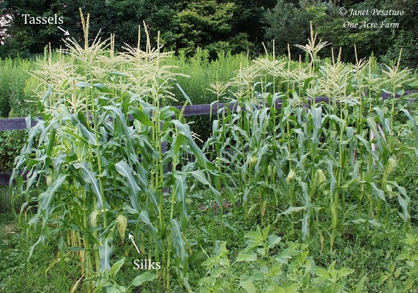 6-tips-para-cultivar-maiz-en-pequenas-superficies-02