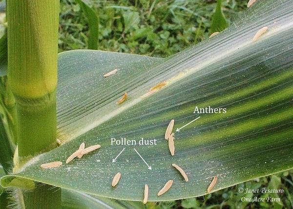 6-tips-para-cultivar-maiz-en-pequenas-superficies-04
