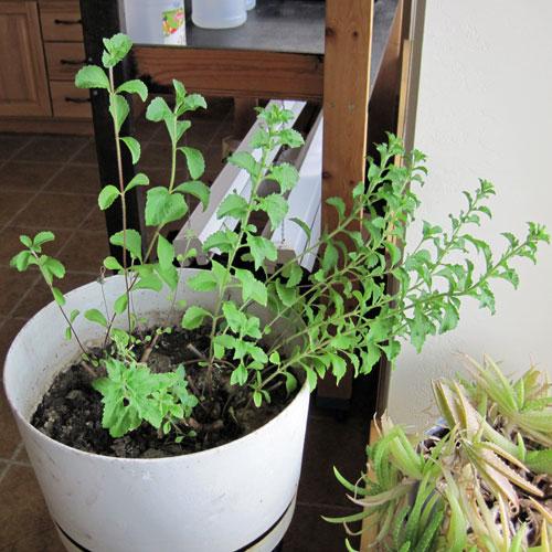 como-cultivar-la-stevia-y-preparar-su-extracto-01