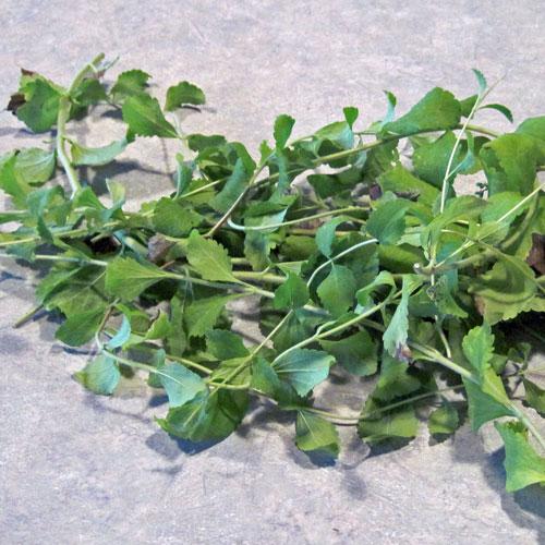 como-cultivar-la-stevia-y-preparar-su-extracto-02