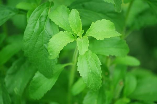 como-cultivar-la-stevia-y-preparar-su-extracto-10