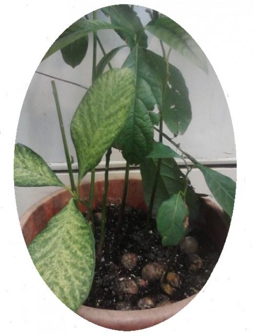 como-germinar-semillas-de-aguacate-con-exito-05
