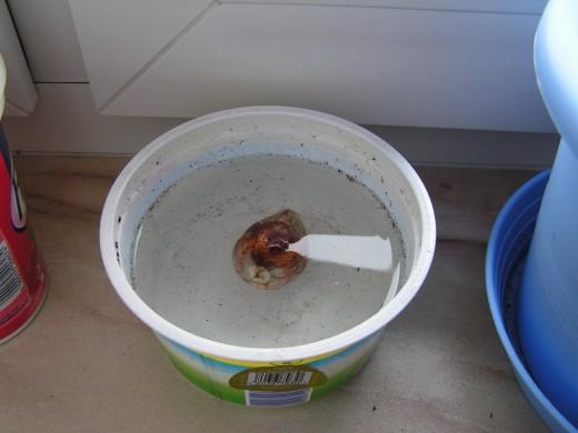 como-germinar-semillas-de-aguacate-con-exito-07