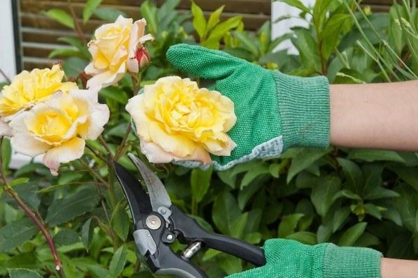 consejos-naturales-para-tener-las-mejores-rosas-03