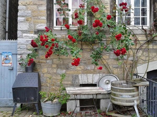 consejos-naturales-para-tener-las-mejores-rosas-04