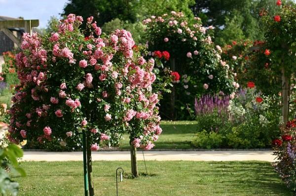 consejos-naturales-para-tener-las-mejores-rosas-07