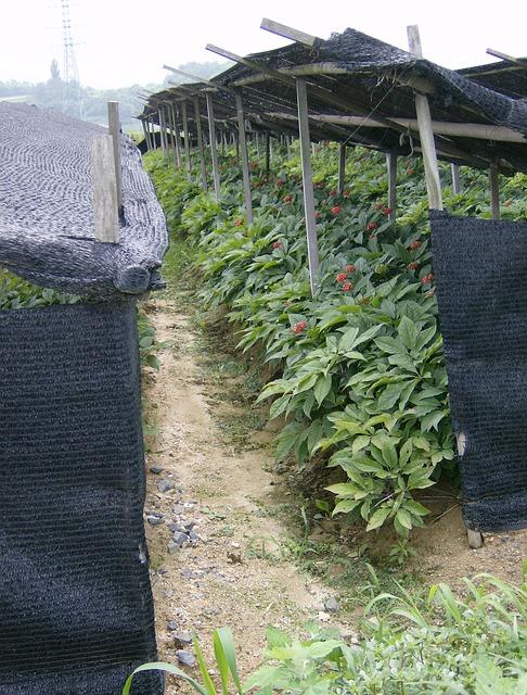 cuidados-y-cultivo-del-ginseng-03
