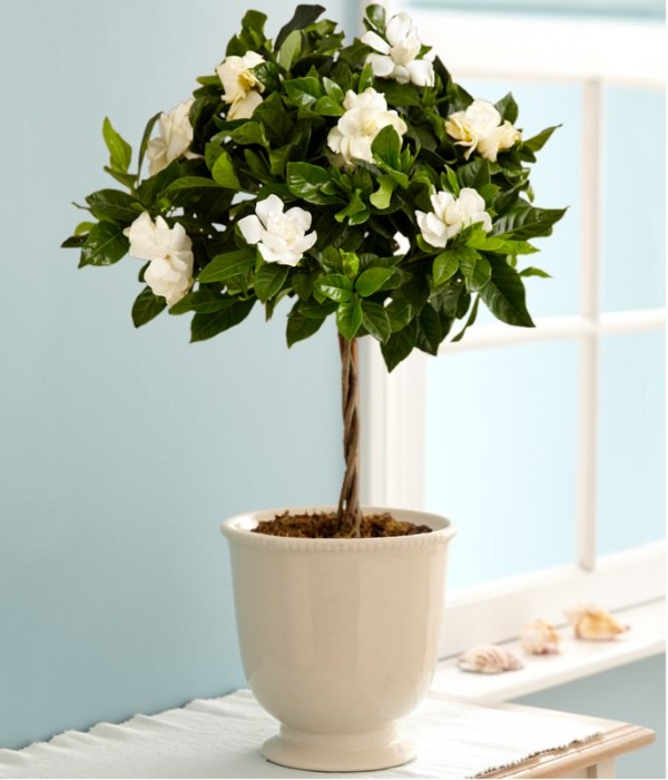 Cultivar gardenias en maceta for Plantas en macetas