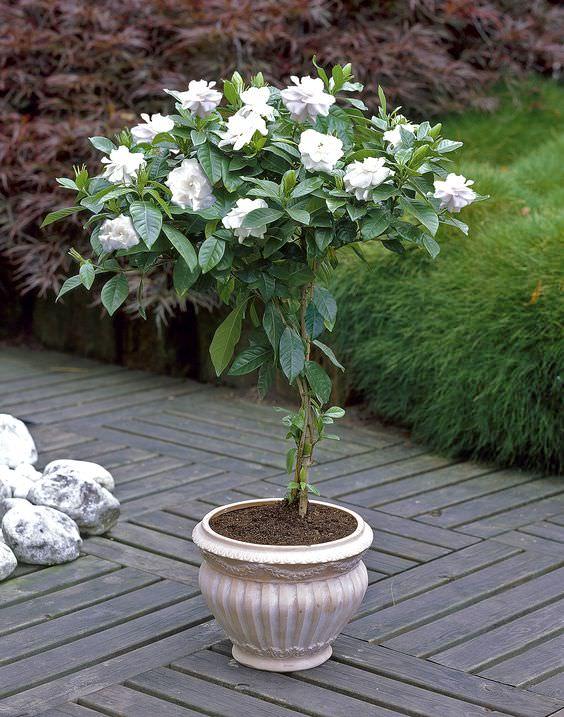 cultivar gardenias en maceta