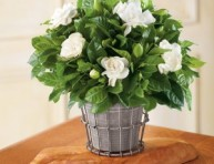 imagen Cultivar gardenias en maceta