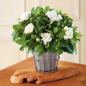 cultivar-gardenias-en-maceta-03
