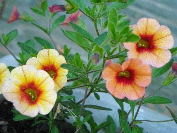 cultivo-de-la-calibrachoa-03