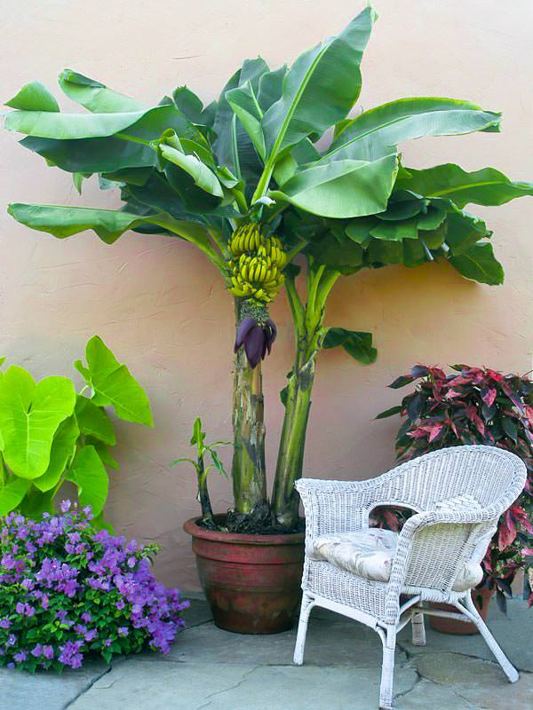 cultivo-en-maceta-del-platano-o-banano-01