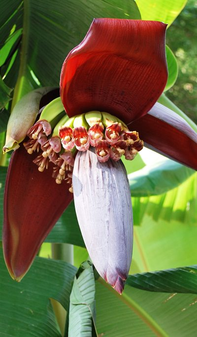 cultivo en maceta del plátano o banano