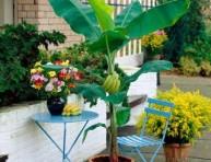 imagen Cultivo en maceta del plátano o banano