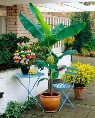 cultivo-en-maceta-del-platano-o-banano-03