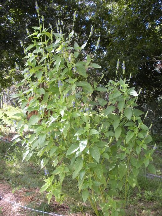 cultivo-y-recoleccion-de-la-chia-01