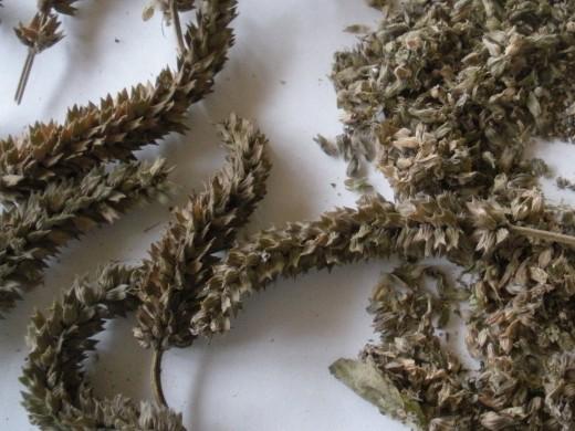 cultivo-y-recoleccion-de-la-chia-05
