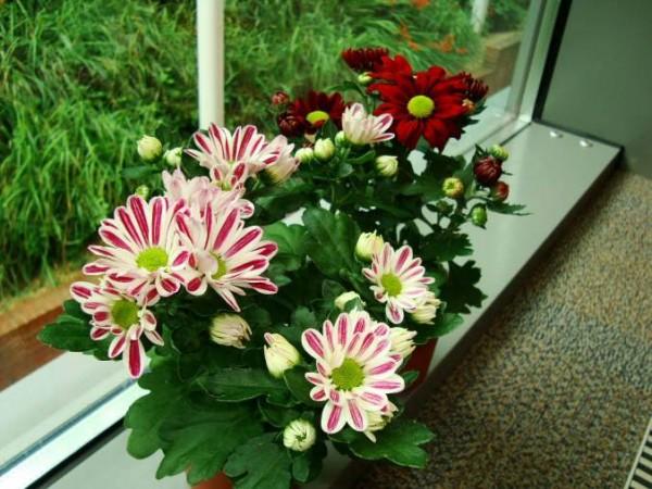 el-cultivo-del-crisantemo-en-maceta-01