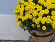 imagen El cultivo del crisantemo en maceta