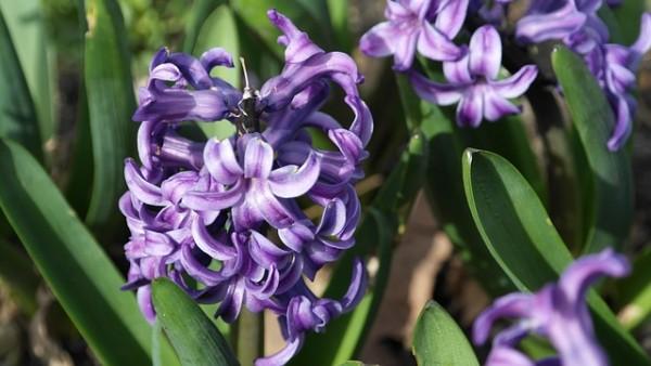 plantas-que-florecen-en-primavera-04