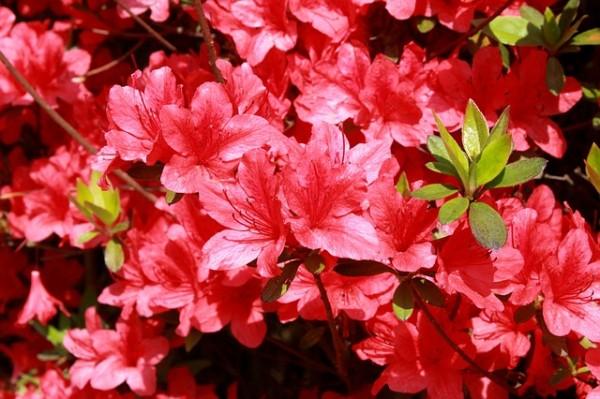 plantas-que-florecen-en-primavera-05
