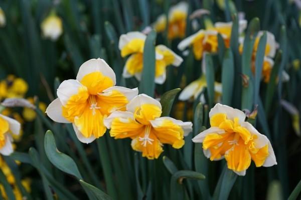 plantas-que-florecen-en-primavera-08