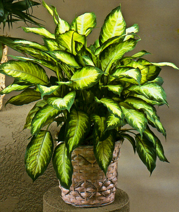 19 plantas de interior sin mantenimiento for Planta tropical interior