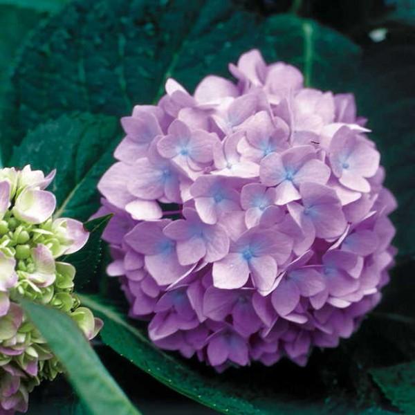 7 maravillosas plantas que crecen bajo la sombra - Flores de sombra ...