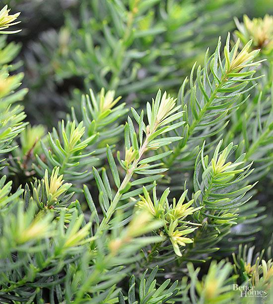 arbustos-para-cultivar-en-sombra-03