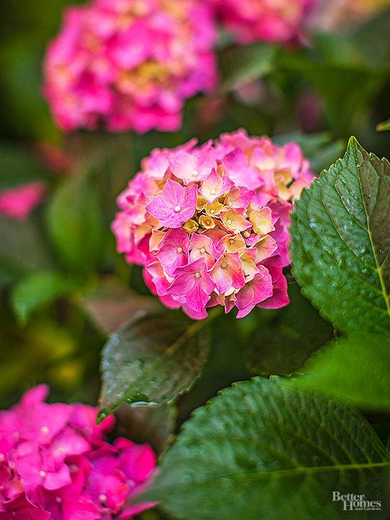 arbustos-para-cultivar-en-sombra-09