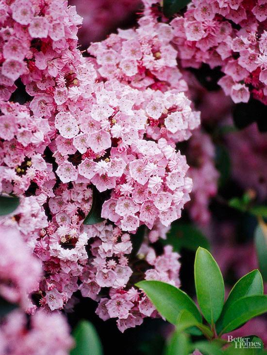 arbustos-para-cultivar-en-sombra-10