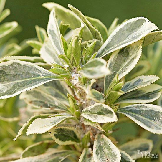 arbustos-para-cultivar-en-sombra-11