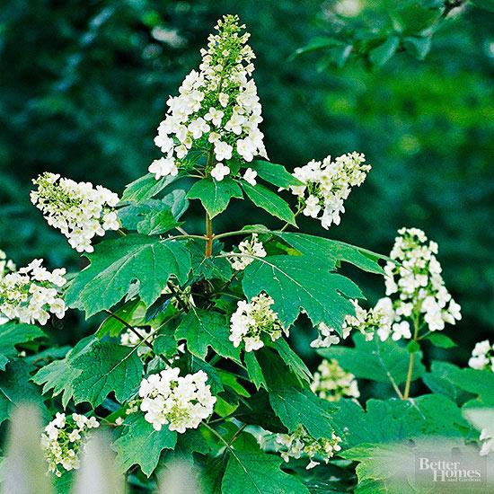 arbustos-para-cultivar-en-sombra-13