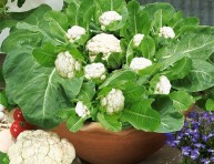 imagen Cultivar coliflores en maceta