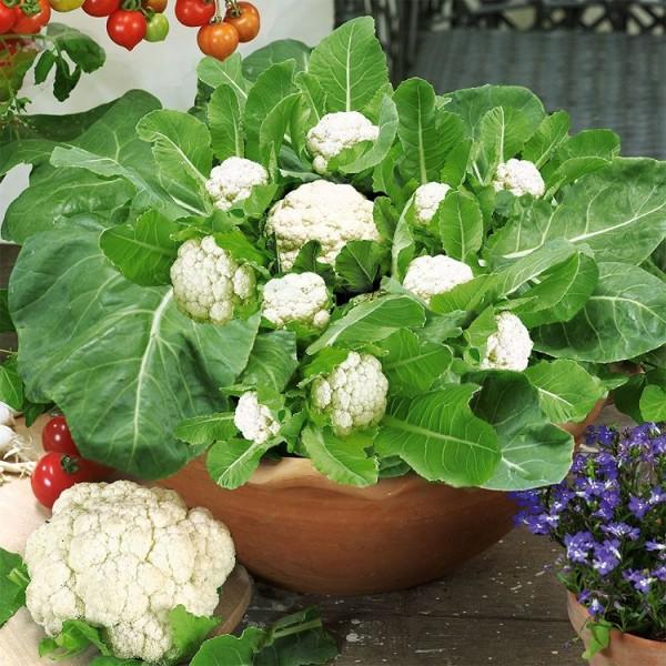 cultivar-coliflores-en-maceta-01